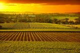 The Precious Charm of Australian Vineyards