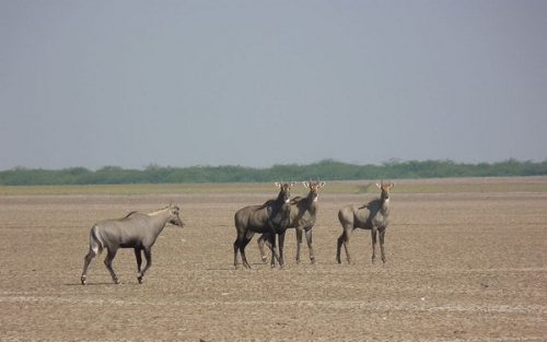 Nilgai group at Little Rann of kutch
