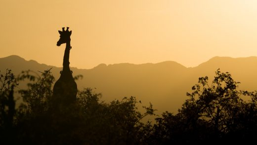 Giraffe and Yellow Sunset
